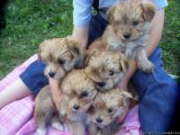 These Morkie puppies will make excellent companions as