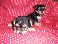 Beautiful Morkie puppies. I am going to estimate their