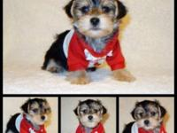 Ready Now! YORKIE + MALTESE = MORKIE Male $600. and