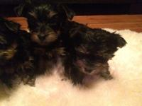 Morkie puppies vet checked,home raised,on small