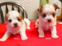 Adorable little Morkie pups , born 10/2/2013 will be