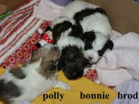 Adorable little Morkie pups , born 10/6/2013 will be