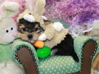 """We have a lil guy morkie or yorktese """"Hershey"""" $600"""
