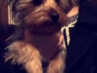 4 month old Morkie needs new home for Christmas. She is