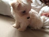 White male morkie with tanish ears. Bought him from a