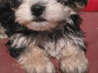 He is a beautiful black and cream Morkie .He is a doll