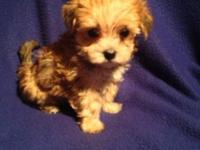 She is a beautiful tcup size gold and cream Morkie