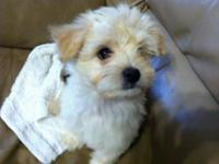 I have one male morkie puppy left! We recently had a