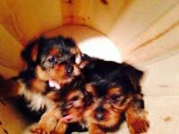 Morkie puppy female. Xtra small champion bloodline. Pre