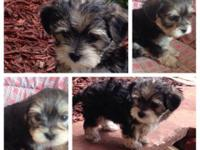 Mason is a very tiny male Morkie, he weighs about a
