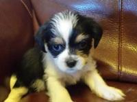 One female Morkie puppies for sale $450 O.B.O Please no