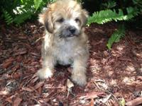 I have one eight week old Male Morkie for Sale. He is