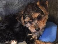 Adorable Morkie litter! ... Hurry just one boy now!