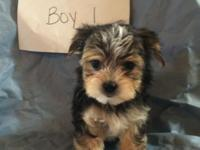 This Morkie puppy will stay small. The Yorkie father