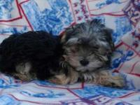 Beautiful Morkie Puppy, look Yorkie. Only 1 girl left.