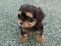 Black & gold male tiny baby morkie pupp y ready to go.