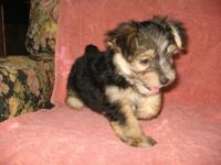 Adorable little puppy. He is 8 weeks old, CKC Reg. & he