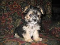Beautiful little puppy. He is 10 weeks old, CKC Reg. &