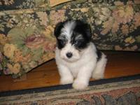 Beautiful little puppy. He is 8 weeks old, CKC Reg. &