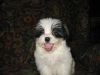 Adorable little puppy. He is 10 weeks old, CKC Reg. &