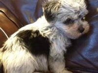 Boz is a gorgeous male Morkie born 6/6/13. He looks a