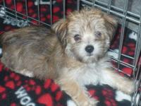 I currently have one female Morkie puppy. (Toy sizes)
