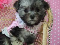 THIS TINY, TINY LITTLE GIRLIS A MORKIE PUPPY.A VERY
