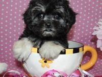 THIS DARLING LITTLE GIRL IS A MORKIE PUPPY. SHE IS