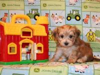 Color: brown. We have a precious male Morkie puppy that
