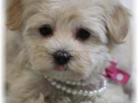 Bindi is a little Morkie, Maltese and Yorkshire Terrier
