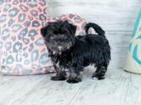 Nixy is a Perky female Morkie. This Gal is Friendly &