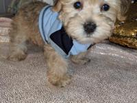 Very Cute! Meet Tucker Boy. He's a darling tan Morkie