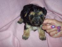 THIS CITE MORKIE GIRL IS CKC REGISTERED, HER SHOTS ARE