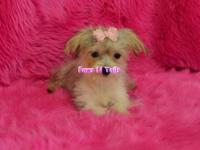 Queene is a female Morkie. She is a tiny girl with a