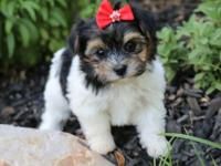 Mellie is a Morkie, (half Maltese / half Yorkie), with