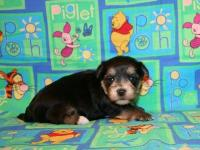 Color: black/tan/white. We have a cute male Morkie