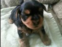 Morkies for sale Contact me if you're interested  /