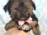This is Sadie the morkie. She is the smallest of her