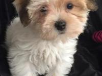 I have a beautiful Morkie girl... Maltese/Yorkie. The