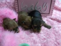 Morkie pups ,Litters available nov.10th - x-mas.Pups