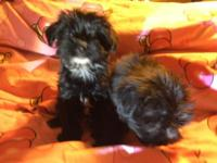 Maltese and yorkie mixed pups Has health certs and