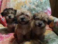 CKC registered morkie pups ,9 wks.2 males 1 females.