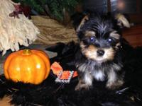 Beautiful morkie pups mom is a morkie and dad is a