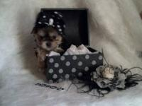 Morkie tiny female puppy beautiful baby doll face, mom