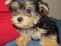 Yorkie/Maltese male puppies. 10 weeks old. Shots and