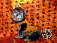 Five month old morkie just in time for trick or treat.