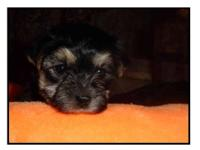 We have baby Morkies ! We are now showing and taking