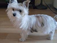 7 months old male Yorkie mixed Maltese. Beautiful color