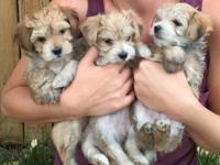 Morkie puppies, 1 female and 2 males left. These