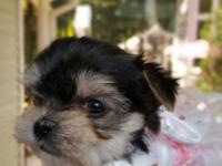 Tiny Teacup Maltese x yorkie puppies